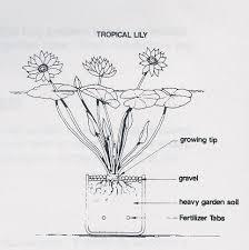 Dead Flowers Tabs - aquarium planting tips and care