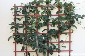 Indoor Vine Plant Stephanotis Vine Care