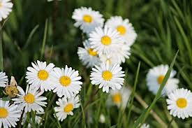 free photo daisy spring meadow meadow free image on pixabay