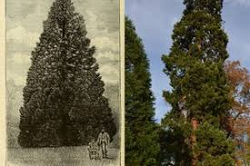 this 158 year old redwood the uk u0027s oldest living christmas tree