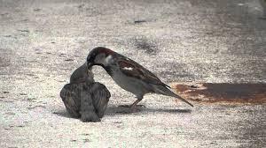 Sparrow by Father Sparrow Feeding A Baby Bird Youtube
