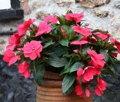 impatiens flowers impatiens flower garden impatiens