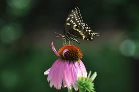 buy native grow native indiana wildflowers native wildflower seeds planting the old farmer u0027s