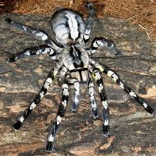 indian ornamental tarantula 5 inch adults 169 99