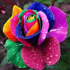 multicolored roses top 5 roses from around the world stillunfold