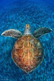 turtle gem jordi chias underwater worlds wildlife