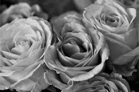 Black Rose Flower Black Rose Free Pictures On Pixabay
