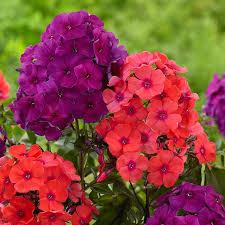 Summer Flower Garden Ideas - 222 best phlox images on pinterest perennials flower gardening