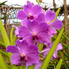 vanda orchid orchids bright violet purple
