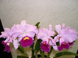 Flower Of Orchid - what is your birth orchid october cattleya