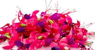 organic edible flowers 50 organic miniature fuchsia edible flowers pink