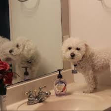 bichon frise instagram this clever dog can copy almost anything his human says