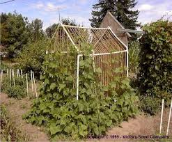 Pole Bean Trellis Bean Growing And Trellising Information From Victory Seeds