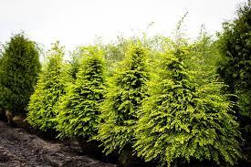 buy hemlock trees online the tree center