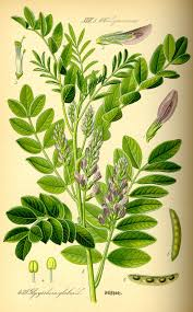 30 best native plant reference liquorice wikipedia