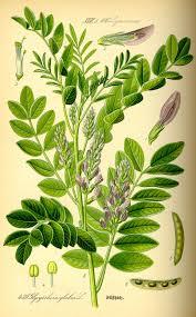 Plant Diseases Wikipedia - liquorice wikipedia