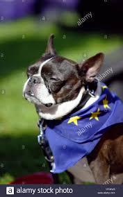 Boston Terrier Flag French Bulldog Wearing A European Flag Scarf At The Unite For