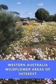 native western australian plants 35 best wildflowers in western australia images on pinterest
