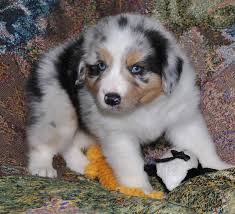 australian shepherd eyes 71 most cute australian shepherd puppies pictures and photos