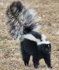 skunk removal los angeles ca pest removal nj
