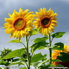 sunflower seeds mammoth grey stripe american meadows