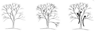 pruning ornamental trees swansons nursery seattle s favorite