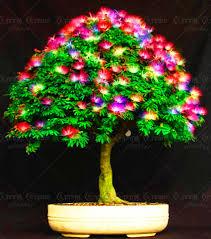 11 11 big sale 20 rainbow acacia seeds beautiful bonsai tree