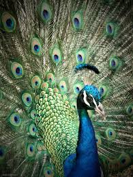 beautiful peacock photo by androidkitteh 7
