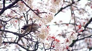 a bird feeding from a white cherry blossom tree white cherry