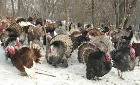 decatur metro emory to feast on heritage turkeys