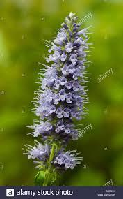 Hummingbird Plant Hummingbird Mint Giant Hyssop Agastache Black Adder Summer Flower