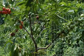 tree of 40 fruit syracuse york gastro obscura