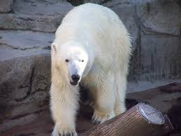 Chicago Lincoln Park Zoo Lights by File Polar Bear Lincoln Park Zoo Chicago Illinois Jpg