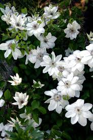 291 best bloeiende clematis images on pinterest flowers