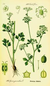 Flowers Of The Month List - celery wikipedia
