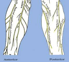 Nerves In The Knee Anatomy Nervous Structure Of The Arm