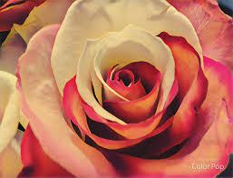 Multi Colored Roses Multi Colored Rose U2013 Amy Sophiamehr