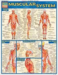 Anatomy And Physiology The Muscular System Muscular System Quickstudy Academic Inc Barcharts