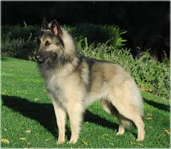 belgian sheepdog national specialty isengard u0027s d u0027ash u2013 isengard belgian sheepdogs
