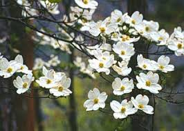 dogwood flowers flowering dogwood department of horticulture