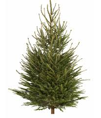How Much Are Real Christmas Trees - b u0026q slashes the price of real christmas trees worth 35 to just 1