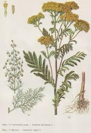 Sweet Flag Herb 292 Best Botanicals Images On Pinterest Botanical Illustration