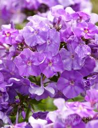 phlox flower blue boy phlox 77367