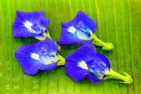 clitoria ternatea known as the butterfly pea flower used for