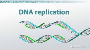 nucleus definition u0026 function video u0026 lesson transcript study com