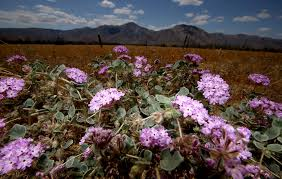 wildflowers come and go but in anza borrego the desert will