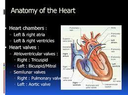 Anatomy Of Heart Valve Heart Anatomy Valves