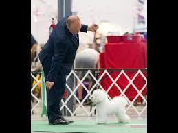 bichon frise kennels legend u0026 lore bichons bichon frise puppies for sale