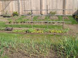 my pea u201cw u201d hortophile u2013 my new garden