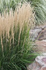 buy karl foerster feather reed grass plant for sale from